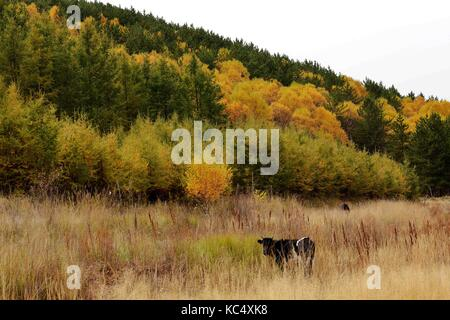 Bayan Nur, China's Inner Mongolia Autonomous Region. 3rd Oct, 2017. The Dahuabei forest area is seen in Bayan Nur, - Stock Photo