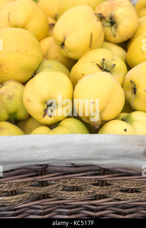 Cydonia oblonga. Quince display at the Malvern Autumn Show, Worcestershire, UK - Stock Photo