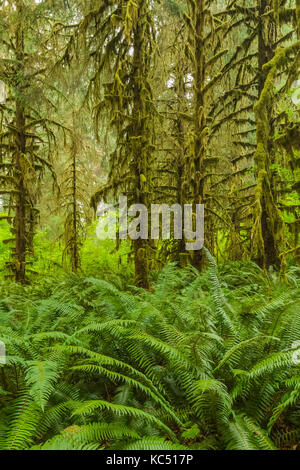Lush forest of Sitka Spruce, Picea sitchensis, and Sword Fern, Polystichum munitum, in the Hoh Rain Forest along - Stock Photo