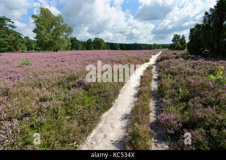 Sand path through heathland with blossoming heather (Caluna vulgaris), Lüneburger Heath, Lower Saxony, Germany - Stock Photo