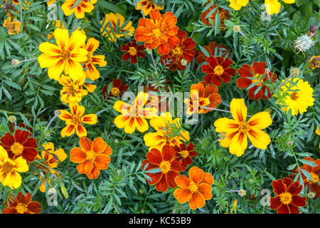 Yellow and orange marigolds (Tagetes), also Marigold, Island of Flores, Azores, Portugal - Stock Photo