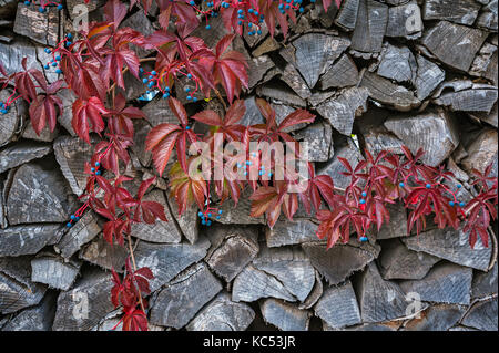 Virginia creeper (Parthenocissus quinquefolia) in front of Holzstoß, Bavaria, Germany - Stock Photo