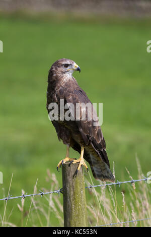 Close up view of Common Buzzard Buteo buteo perched on a fence post - Stock Photo