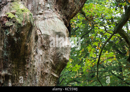 Facial-like adhesion on an oak trunk (Quercus robur), Hesse, Germany - Stock Photo