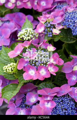 Hydrangea macrophylla 'Kardinal Violet' flowers. - Stock Photo