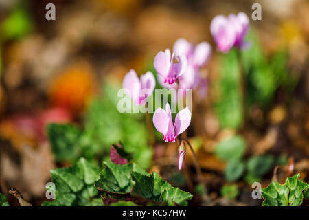 Delicate pink to purple autumn flowering Ivy-leaved cyclamen, cyclamen hererifolium, in flower - Stock Photo