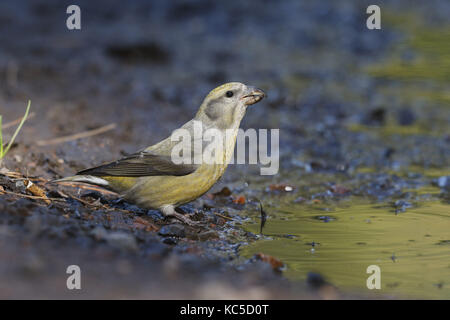 Common Crossbill, Loxia curvirostra, female at drinking pool - Stock Photo