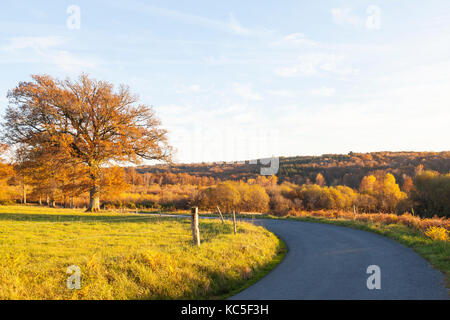 Oak tree with autumn leaves on a bend in the road at sunset with warm light  during golden hour on farmland and - Stock Photo
