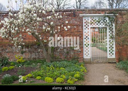 White magnolia tree next to a white gate - Stock Photo
