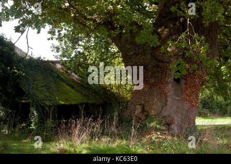 an ancient oak tree (Quercus robur) and barn located in Linchmere, nr Liphook, Surrey, England - Stock Photo