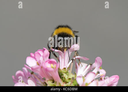 Buff- Tailed Bumble Bee-Bombus terrestris feeds  on Escallonia 'Pink Elle'. Uk - Stock Photo