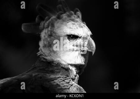 Black and white image of the harpy eagle the national bird of Panama - Stock Photo