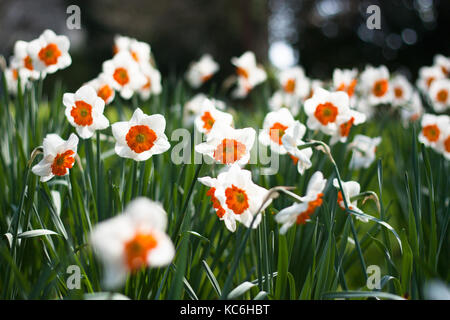Group of many narcissus flower close-up, within a green field as a background. - Stock Photo