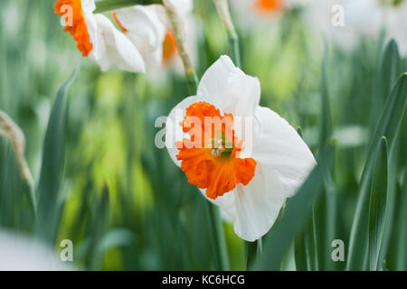 Detailed narcissus flower close up, with blurry green background. - Stock Photo