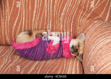 Cinnamon Chihuahua puppy dressed with pullover sleeping on her back  on sofa, 4 months old female. - Stock Photo