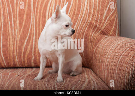 White Chihuahua sitting on sofa, 3 years old female. - Stock Photo