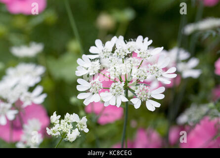 Orlaya grandiflora flowers. - Stock Photo
