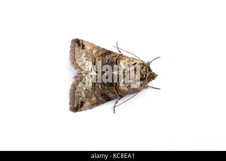 Spectacle moth, Abrostola tripartita, Monmouthshire, April.  Family Noctuidae. Focus-stacked image on white background - Stock Photo