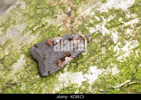 Setaceous Hebrew Character moth, Xestia c-nigrum, Catbrook, Monmouthshire, May. Family Noctuidae. Focus-stacked - Stock Photo