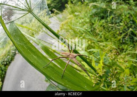 Nursery Web Spider, Pisaura mirabilis, guarding nest of spiderlings. Tintern, Monmouthshire, Wales, June. - Stock Photo
