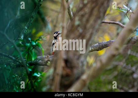 fleeting Glimpse of woodpecker through the trees Hide, Bird, Adgeston, Isle of Wight Greater Spotted Woodpecker - Stock Photo
