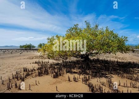 Mangrove tree in the tidal zone of Bowen.