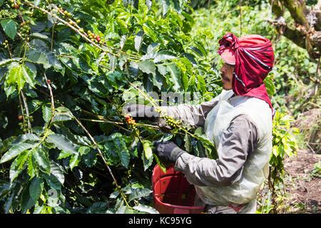 Coffee picker or cafetero at Hacienda Venecia Coffee Farm, Manizales, Colombia - Stock Photo