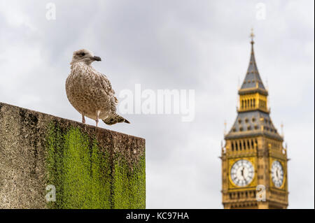 London bird looking on Big Ben - Stock Photo