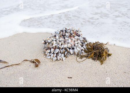 Goose Barnacles - Lepas anatifera - attached to flotsam washed up on Breckon Sands, Yell, Shetland Islands, Scotland, - Stock Photo