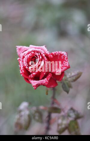 Frozen red rose in the winter. - Stock Photo