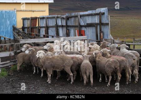 Sheep of a Chilean Estancia - Stock Photo