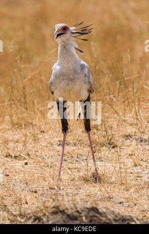 Secretary bird (Sagittarius serpentarius) walking, Masai Mara National Game Park Reserve, Kenya, East Africa - Stock Photo