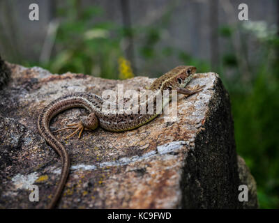 Close-Up Of Brown Lizard Resting On Rock During Summer - Stock Photo