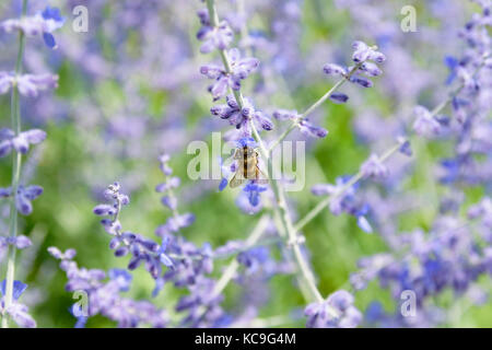 Close-Up Of Bee Collecting Pollen From Russian Sage Flowers Or Perovskia Atriplicifolia - Stock Photo