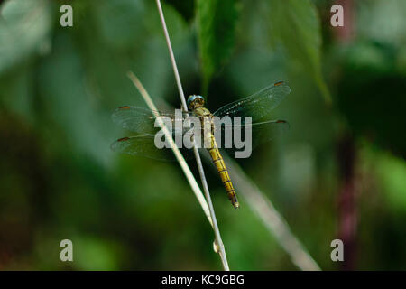 Detailed Close-Up Of Yellow Common Darter Dragonfly Or Sympetrum Striolatum Perched On Wheat Grass - Stock Photo