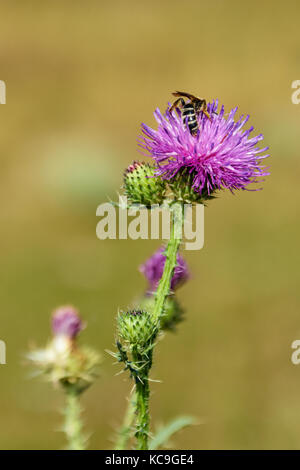 Close-Up Of European Honey Bee Or Apis Mellifera Gathering Pollen From Purple Thistle During Summer - Stock Photo