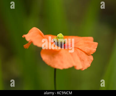 A single delicate orange flower of Welsh poppy, Meconopsis cambrica, set against a blurred background. - Stock Photo