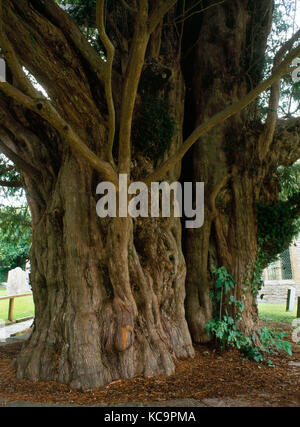 Ancient churchyard yew tree, Compton Dundon, Somerset, England. Estimated as 1700 years old, with a girth of 23ft. - Stock Photo