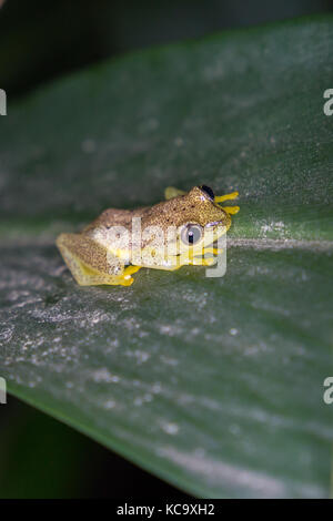 Spotted Madagascar Reed Frog on pandanus leaf at night, Madagascar, 2017 - Stock Photo
