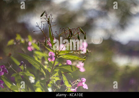 Impatiens glandulifera, many flower with branches Stock Photo