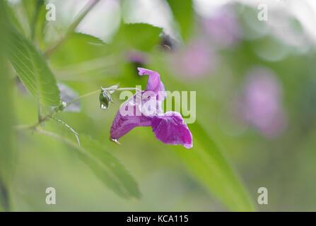 Impatiens glandulifera, single flower with green backround
