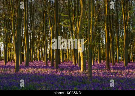Bluebells at Sunrise in ancient Oxfordshire woodland, Badbury Clump, Oxfordshire, UK - Stock Photo