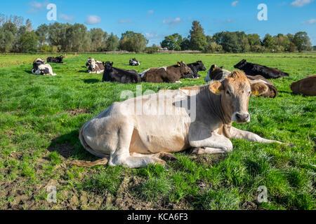 Cattle lying down. Waveney Valley, Suffolk, England. - Stock Photo