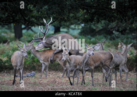 London, UK. 4th October , 2017. UK weather. Red deer take part in the annual rut in Richmond Park which occurs during - Stock Photo