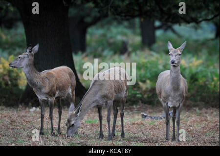 London, UK. 4th October , 2017. UK weather. Does relax as red deer take part in the annual rut in Richmond Park - Stock Photo