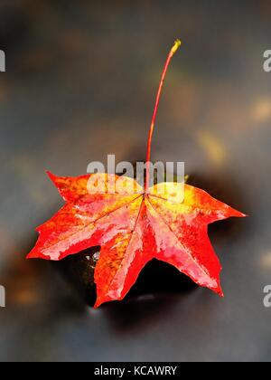 Autumn nature. Detail of rotten orange red  maple leaf. Fall leaf lay on dark stone in blurred mirror water of mountain - Stock Photo