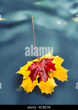 Yellow orange red  autumn maple leaves on water, dried leaf fallen into cold water - Stock Photo
