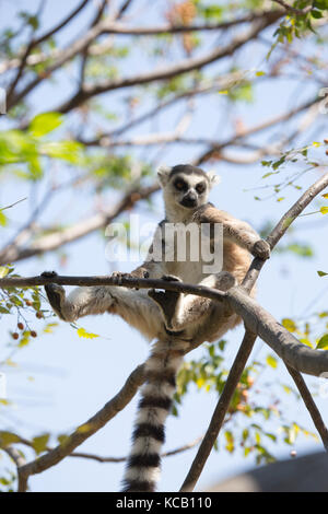 Ring Tailed Lemur basking on a tree branch in the morning sun, Anja National Park, Madagascar, 2017 - Stock Photo