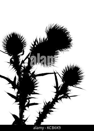 Spear thistle Cirsium vulgare or bull thistle, or common thistle in silhouette