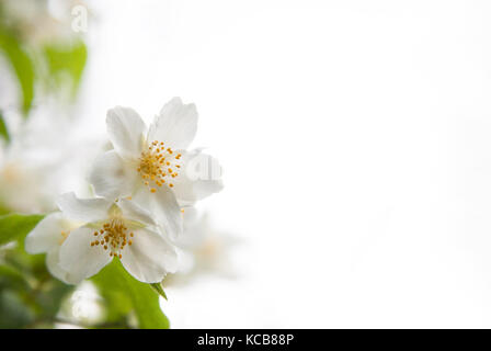 Two white blossoms and green leaves of mock-orange (Philadelphus) on a white background - Stock Photo